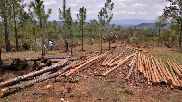 """Parte de los pinos que han sido cortados por el Ministerio de Medio Ambiente y Recursos Naturales, con el objetivo de frenar el avance de la plaga """"el barrenador"""". Foto Alex Reynoso."""