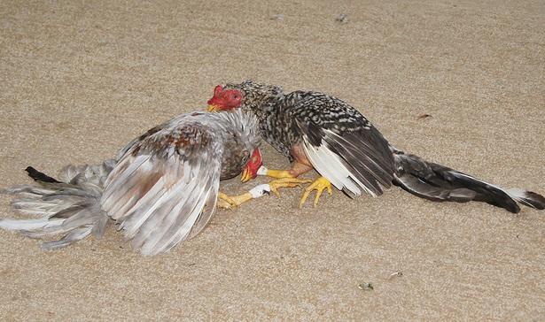 Gustavo Montalvo enfatiza están prohibidos los balnearios y las peleas de gallos